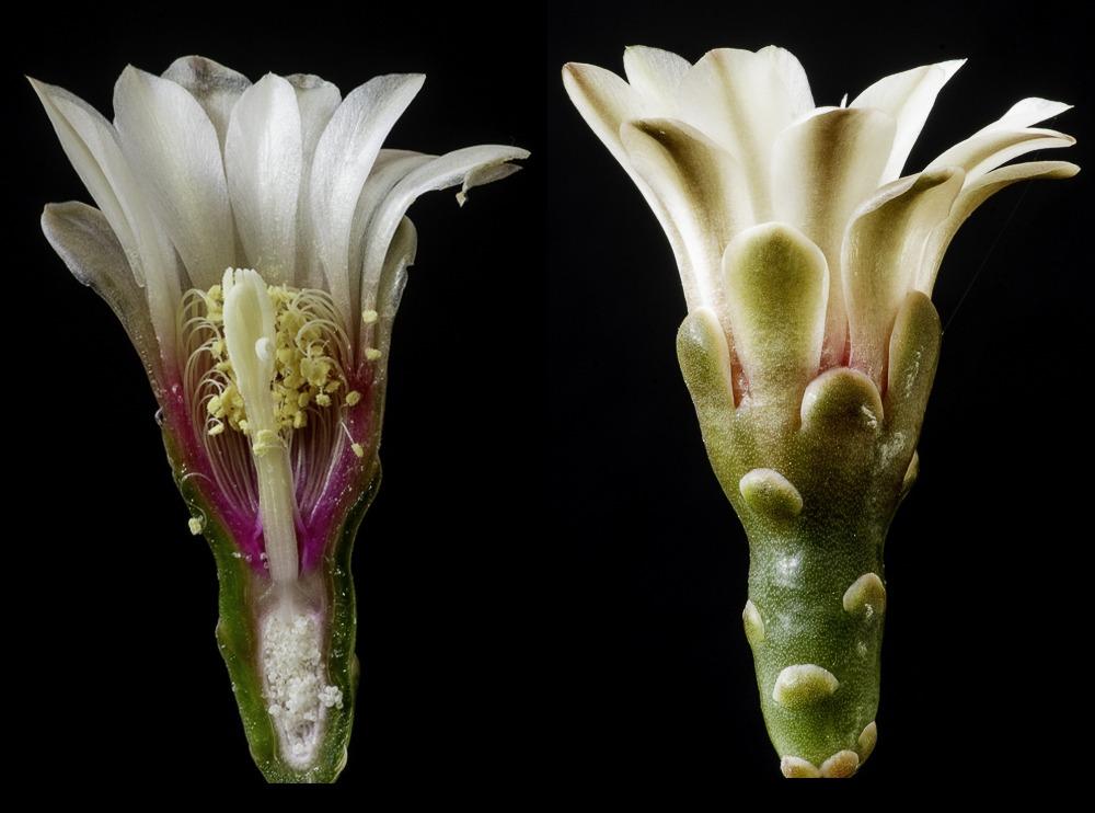 coupe transversale d'une fleur