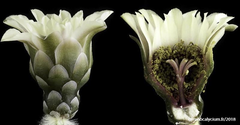 Gymnocalycium pflanzii. Coupe longitudinale d'une fleur