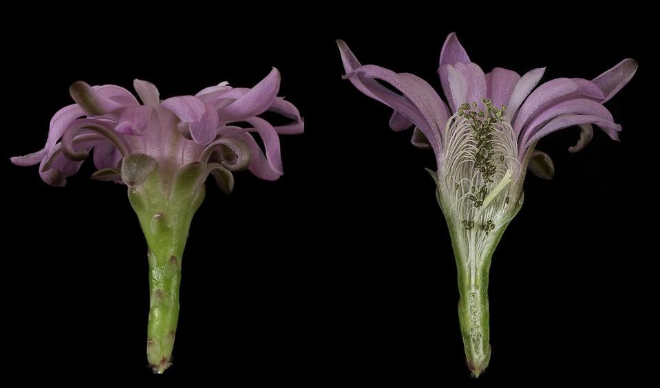 Gymnocalycium damsii ssp. evae v. rotundulum VOS 03-047.