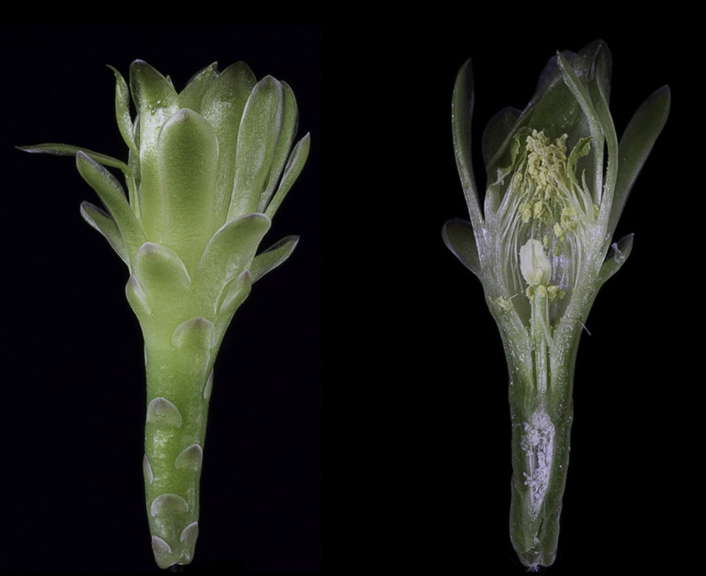 Gymnocalycium spec. VoS 12-1201 (fricii nom. prov.)
