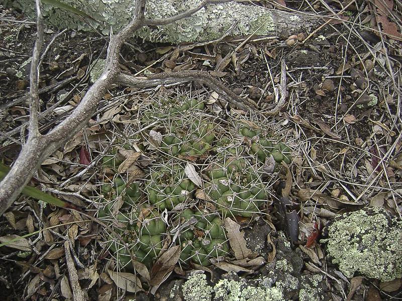 Gymnocalycium chiquitanum. © Sebastian Santecchia. <br />San José de Chiquites, Santa Cruz, Bolivie