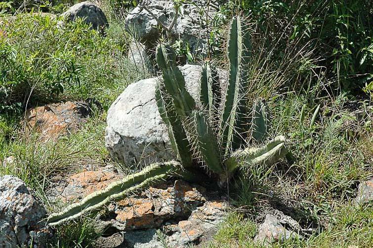 Cereus uruguayensis poussant sur le même site, © Docteur Herman Vertongen.