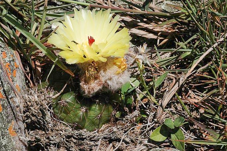 Forme de Notocactus ottonis poussant sur le même site, © Docteur Herman Vertongen.