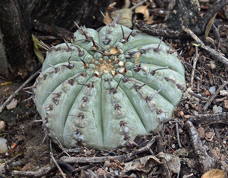 Gymnocalycium bodenbenderianum, © Dr. Detlev Metzing.