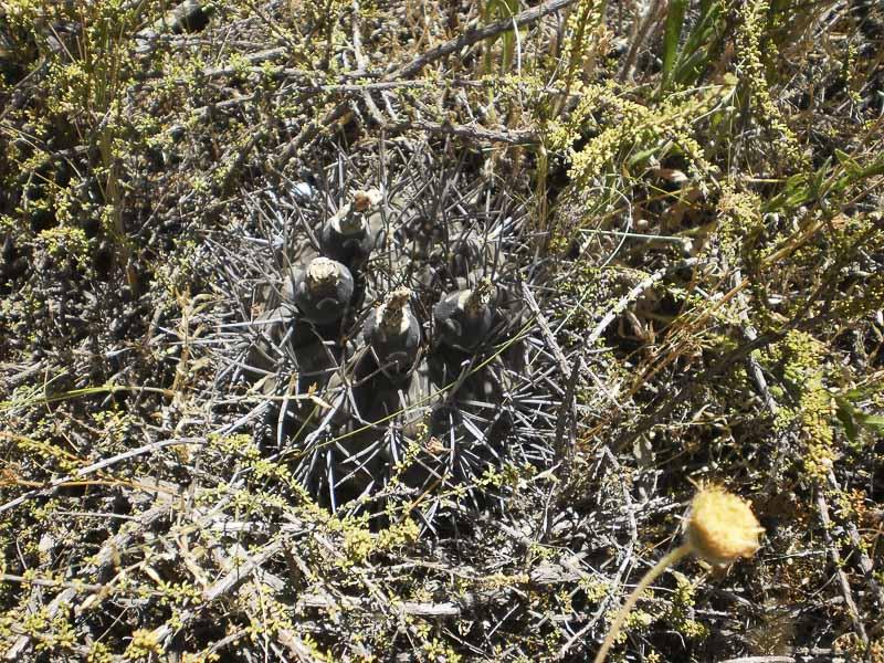 Gymnocalycium gibbosum var. brachypetalum.<br /> Patagonia - Rio Negro, Las Grutas - zona Piedras coloradas, altitude 18 mètres. A 500 m de la mer. 2 Janvier 2017. © Sergio Gabriel Cabo.