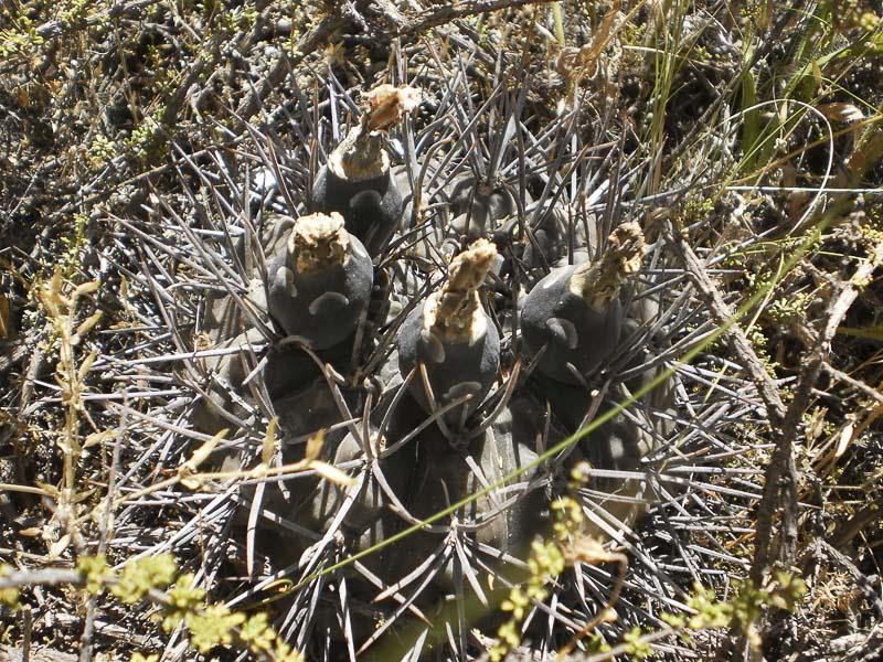 Gymnocalycium gibbosum var. brachypetalum.<br /> Patagonia - Rio Negro, Las Grutas, altitude 18 mètres. A 500 m de la mer. 2 Janvier 2017. © Sergio Gabriel Cabo.