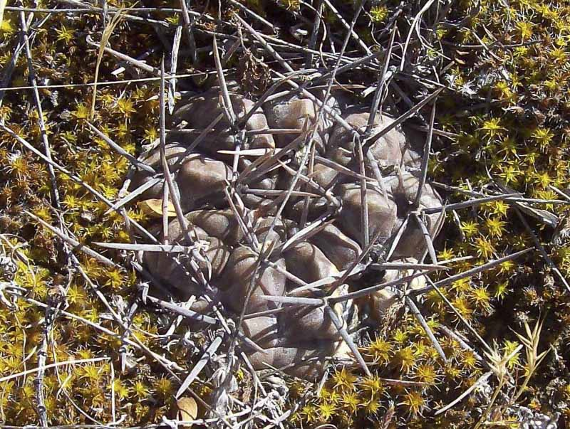 Gymnocalycium gibbosum var. brachypetalum