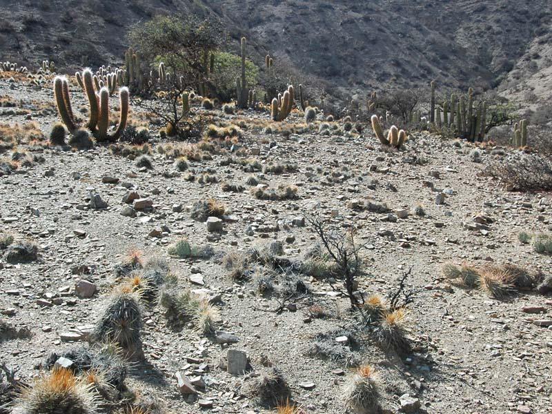 Gymnocalycium cardenasianum, © Pierre FONTAINE. Vue générale d'un site abritant une population de G. cardenasianum au sud de la Bolivie