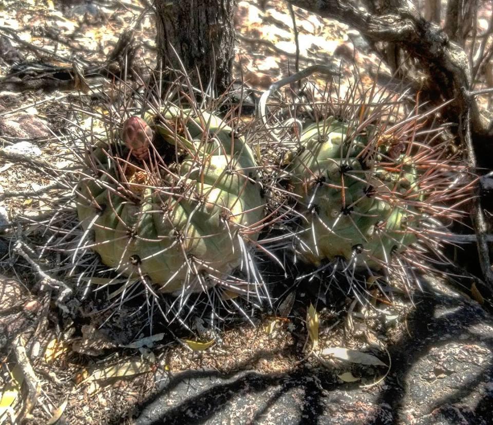 Gymnocalycium castellanosii v. bozsingianum