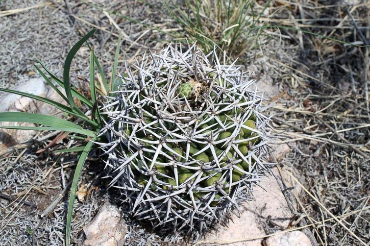 Gymnocalycium castellanosii ssp ferocius RFPA 312, © Flavien Heriot. 8 km sud-ouest de Tuclame, Cordoba, Argentine, 420 m.