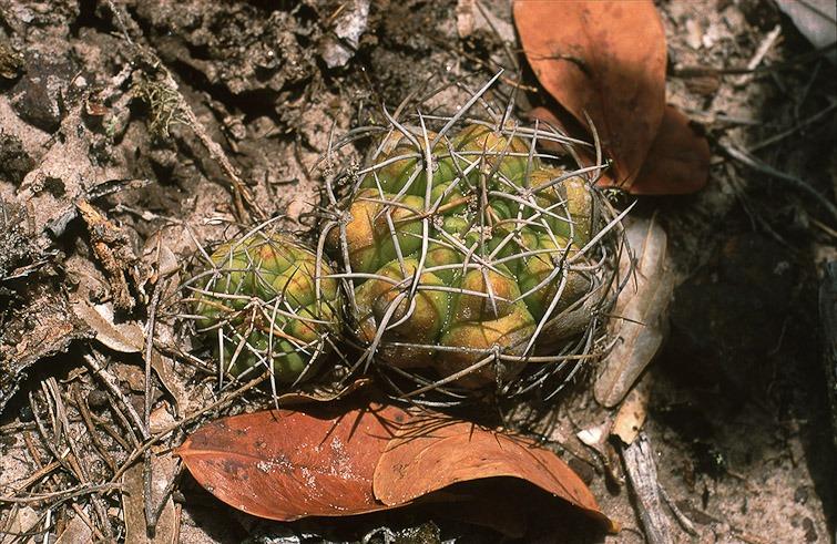 Gymnocalycium chiquitanum, © Dr. Detlev Metzing.