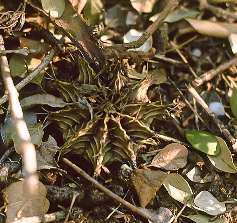 Gymnocalycium friedrichii, © Dr. Detlev Metzing.
