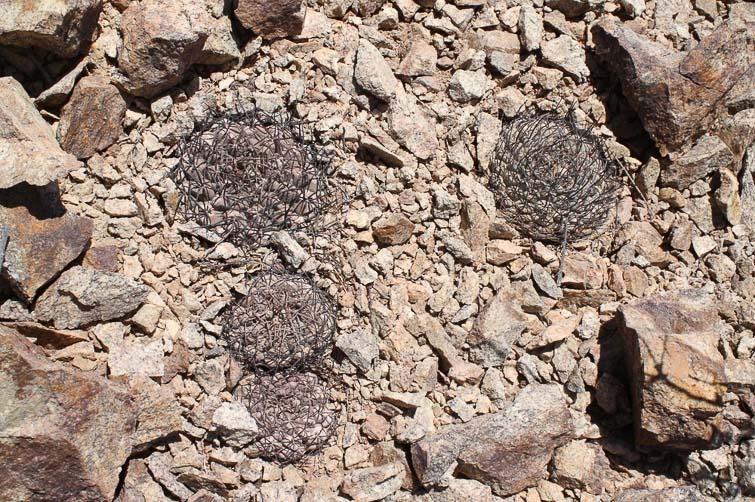 Gymnocalycium glaucum ssp ferrarii RFPA 228, © Flavien Heriot. 3 km Nord de Villa Mazan, La Rioja, Argentine, 730 m.