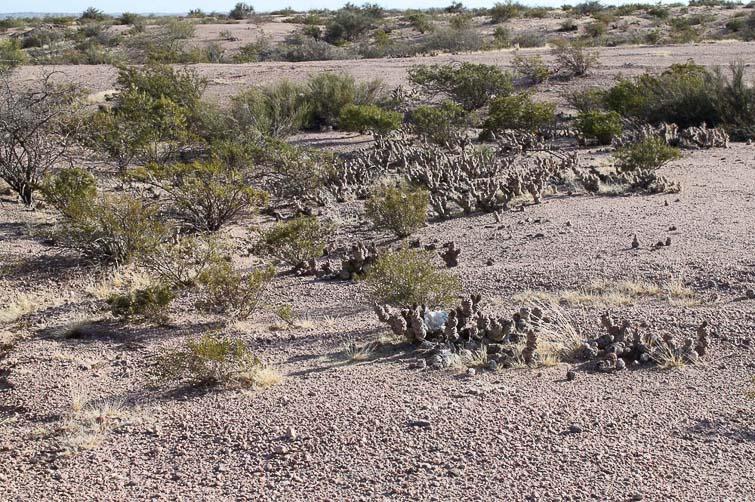 Biotope de Gymnocalycium glaucum RFPA 235 et Tephrocactus articulatus © Flavien Heriot. 3 km au sud d'Alpasinche, La Rioja, Argentine, 970m.
