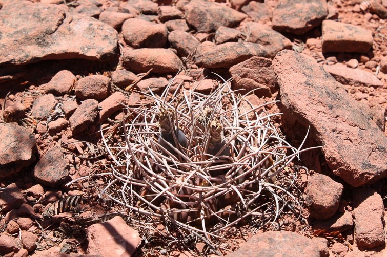 Gymnocalycium guanchinense RFPA 274.01, © Flavien Heriot. 4 km sud de Los Tambillos, La Rioja, Argentine, 1580 m.