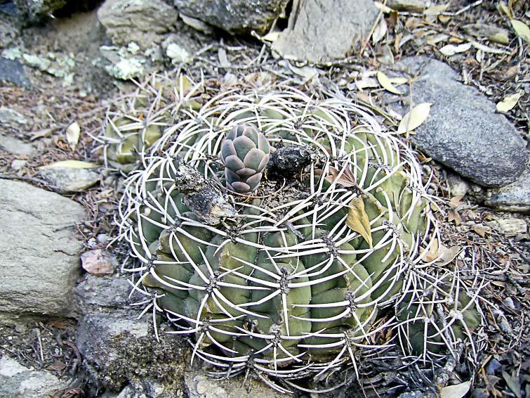 Gymnocalycium hybopleurum, © Luis Marcelo MICHAUD. Sierra Ambato, près de Catamarca, 19 février 2006.