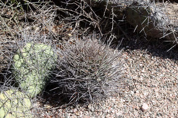 Gymnocalycium mazanense RFPA 226.01, © Flavien Heriot. Ouest Quebrada de la Cebila, La Rioja, Argentine, 990 m.
