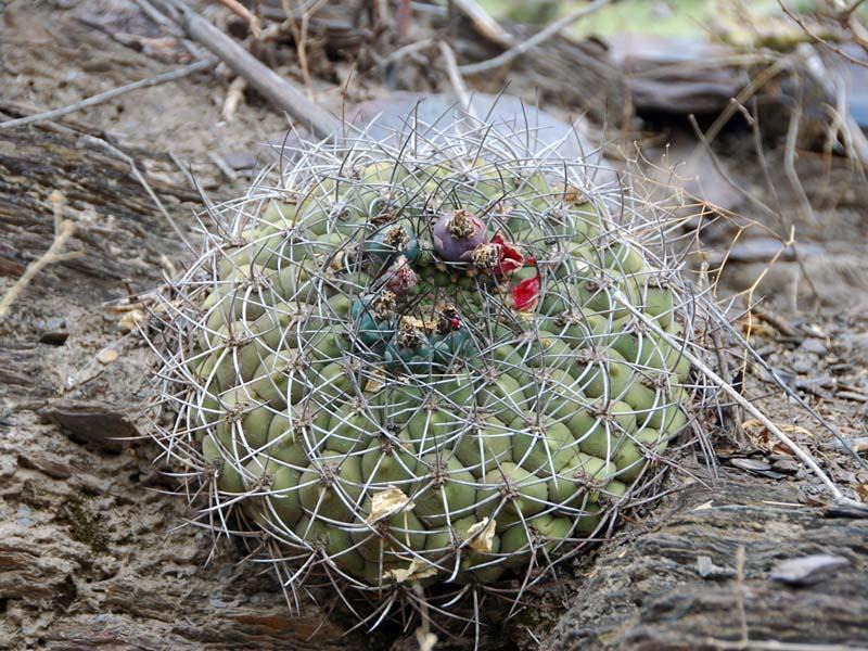 Gymnocalycium millaresii, © Pierre FONTAINE. Site éponyme de ce taxon près du village de Millares, Sud de la Bolivie