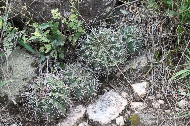 Gymnocalycium mostii RFPA 200.01, © Flavien Heriot. 10 km nord-ouest Villa Allende (vers Cosquin) , Cordoba, Argentine, 653 m.