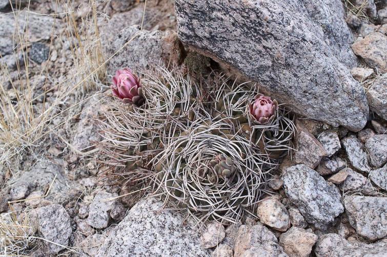 Gymnocalycium nidulans RFPA 233, © Flavien Heriot. Senor de la Pena, La Rioja, Argentine, 865 m.