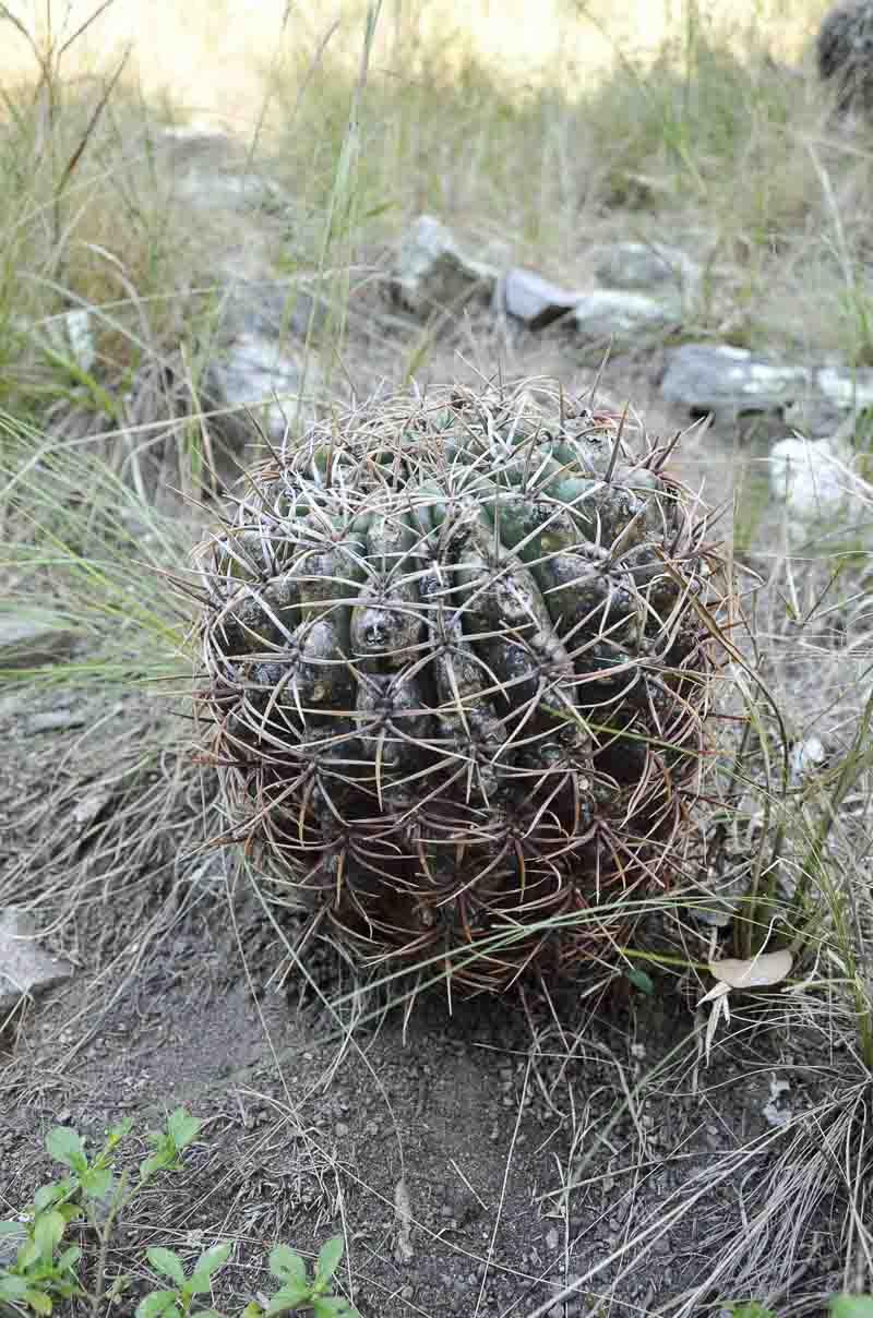 Gymnocalycium orientale. Estancia Hambaré, Alpa Corral, 760 m. mars 2016. © Rick Cabo.