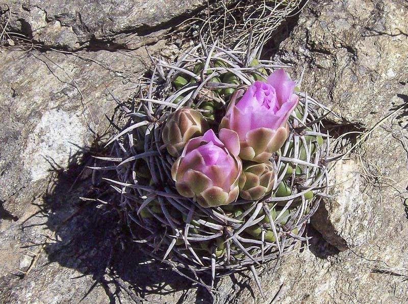 Gymnocalycium achirasense v. orientale. Cerro La Cocha. 8 octobre 2016. © Sergio Gabriel Cabo.