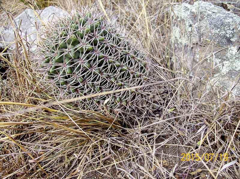 Gymnocalycium oriental jul-2015-005