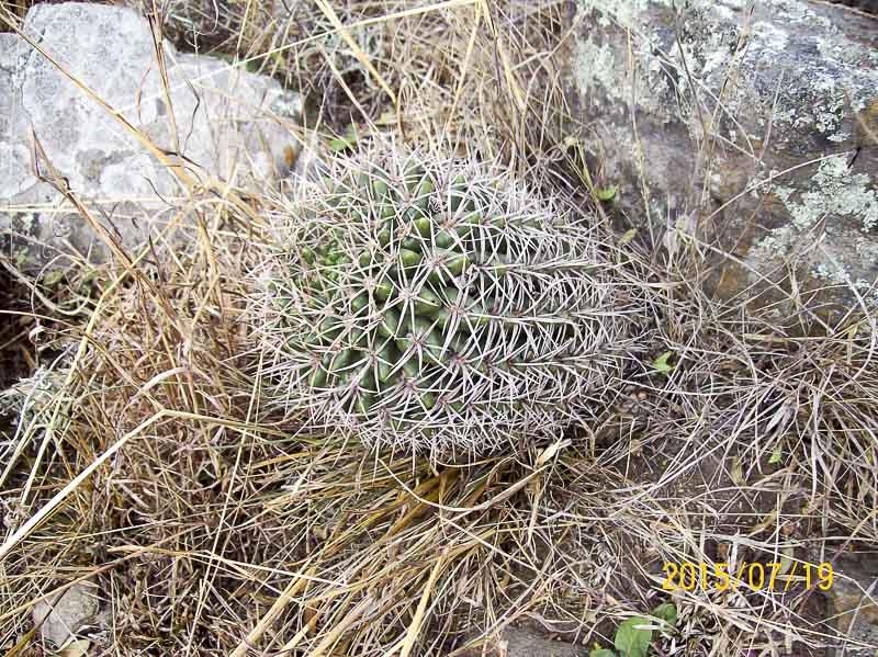 Gymnocalycium orientale. Ouest de Cordoba, Alpa Corral, 866 m d'altitude. <br /> 13 octobre 2014. © Sergio Gabriel Cabo.