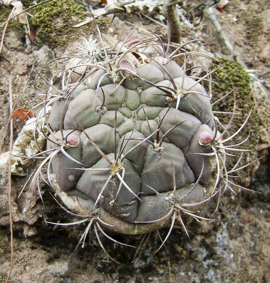 Gymnocalycium pflanzii.