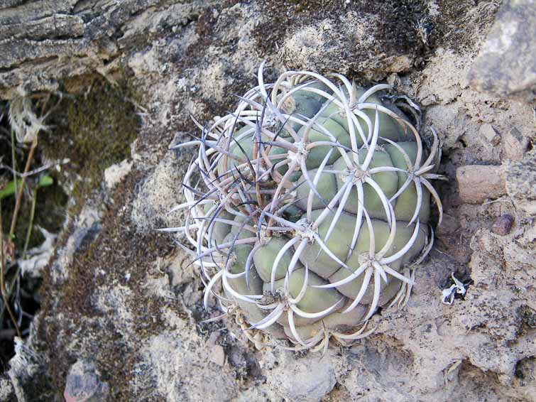 Gymnocalycium pflanzii ssp zegarrae ? forme très inhabituelle, © Didier Roult. Entre Comarapa et Mataral, Bolivie. Juin 2004