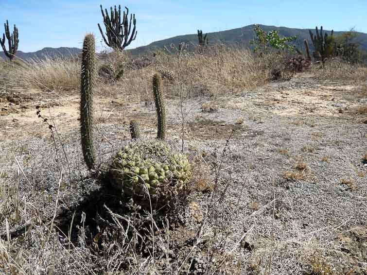 Gymnocalycium pflanzii ssp zegarrae, © Didier Roult. Entre Mataral et Pulquina, Bolivie. Juin 2004