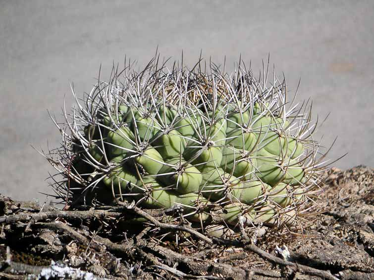 Gymnocalycium pflanzii ssp zegarrae, © Didier Roult. Entre Comarapa et Mataral, Bolivie. Juin 2004