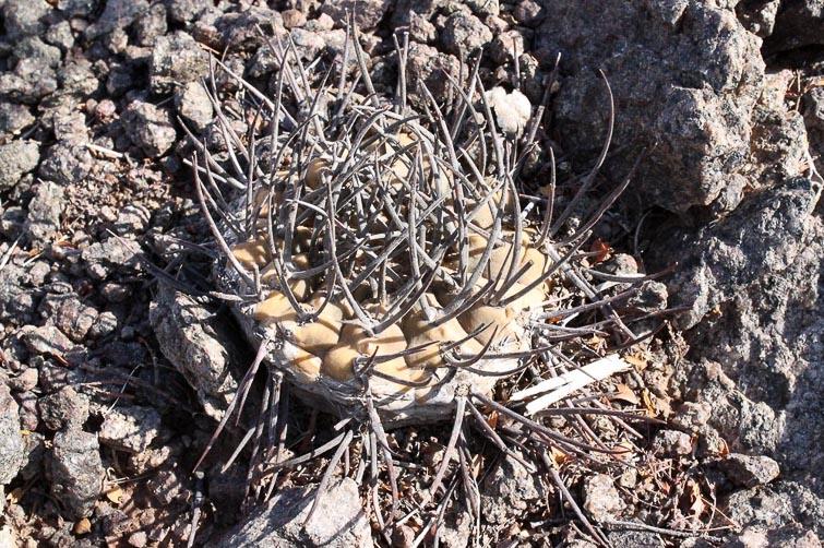 Gymnocalycium piltziorum RFPA 297, © Flavien Heriot. Route d'accès à la Valle de la Luna, San Juan, Argentine, 1380 m.