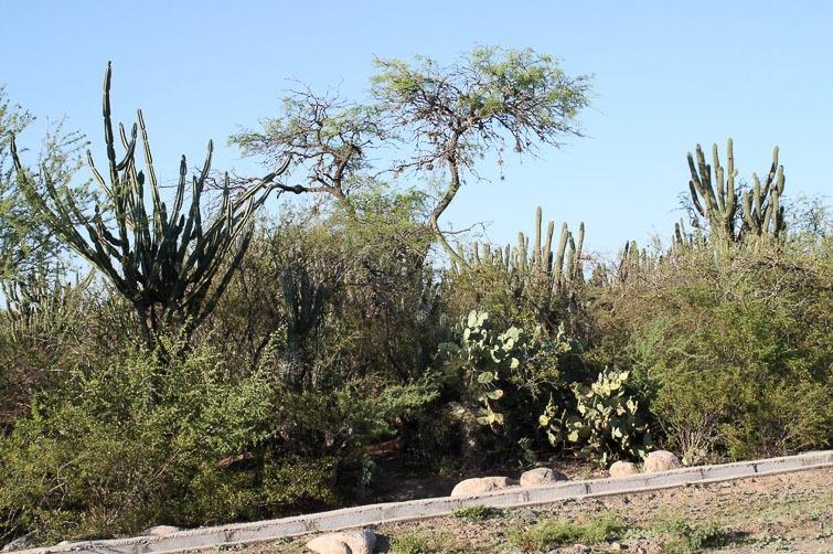 Biotope de Gymnocalycium (bodenbenderianum) platygonum RFPA 223, © Flavien Heriot. Huillapima , Catamarca, Argentine, 515 m.