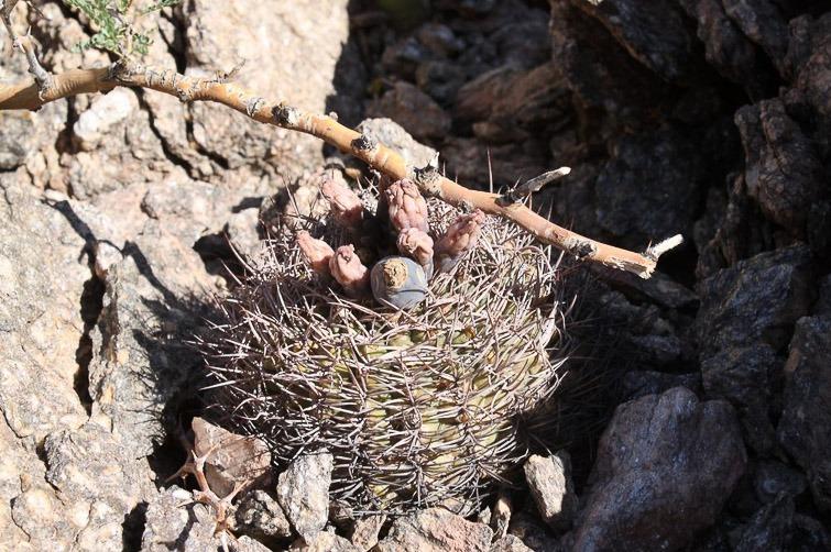 Gymnocalycium pugionacanthum RFPA 238.01, © Flavien Heriot. 7 km sud de Tinogasta, Catamarca, Argentine, 1180 m.