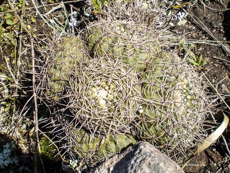 Gymnocalycium reductum ssp leeanum (ou G. mardelplatense ?),