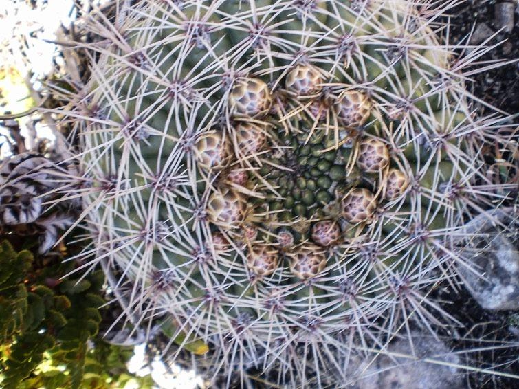 Gymnocalycium reductum ssp leeanum (ou G. mardelplatense ?), © Diaz Juan Jose Luis.