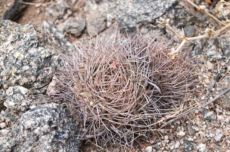 Gymnocalycium rhodantherum RFPA 262, © Flavien Heriot. 15 km nord de Chilecito, La Rioja, Argentine, 1125 m.