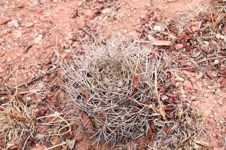 Gymnocalycium rhodantherum RFPA 269.01, © Flavien Heriot. 20 km sud-ouest de Nonogasta, La Rioja, Argentine, 1575 m.