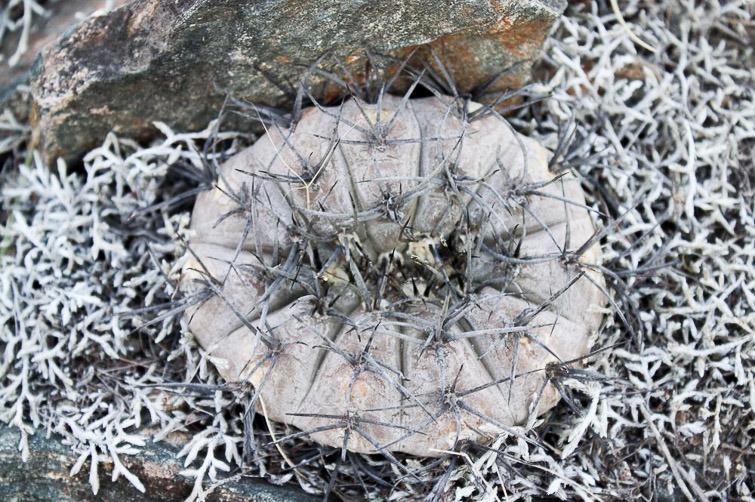 Gymnocalycium riojense ssp paucispinum RFPA 213, © Flavien Heriot.