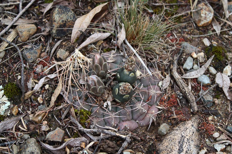 Gymnocalycium ritterianum RFPA 267.01, © Flavien Heriot. 1 km nord de Guachin, La Rioja, Argentine, 1900 m.