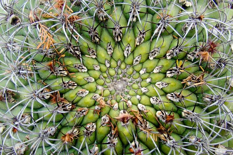 """Gymnocalycium saglionis, © Luis Marcelo MICHAUD. Santa Maria-Catamarca dans le domaine de """"Valles Calchaquies"""""""
