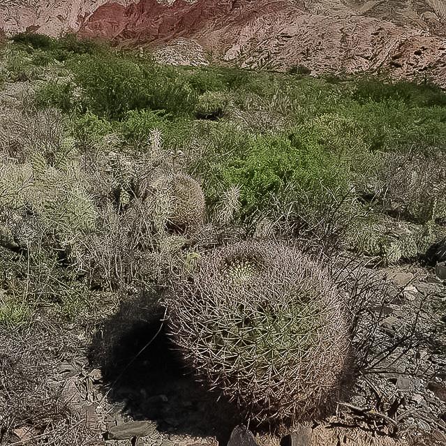 Gymnocalycium saglionis ssp tilcarense