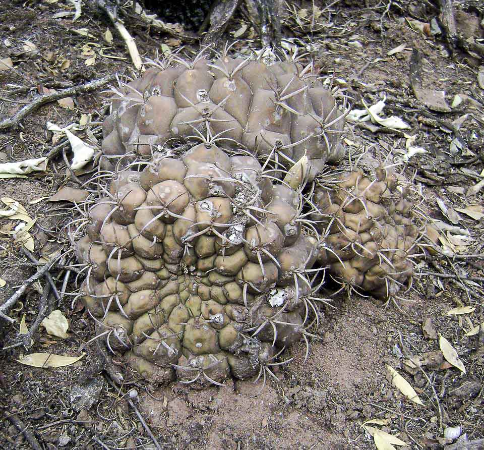 Gymnocalycium schickendantzii ssp delaetii