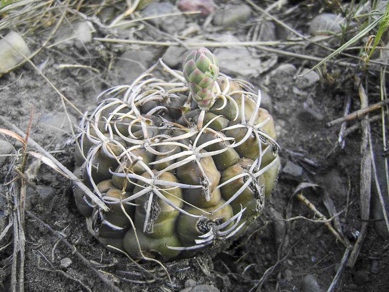 Gymnocalycium marsoneri