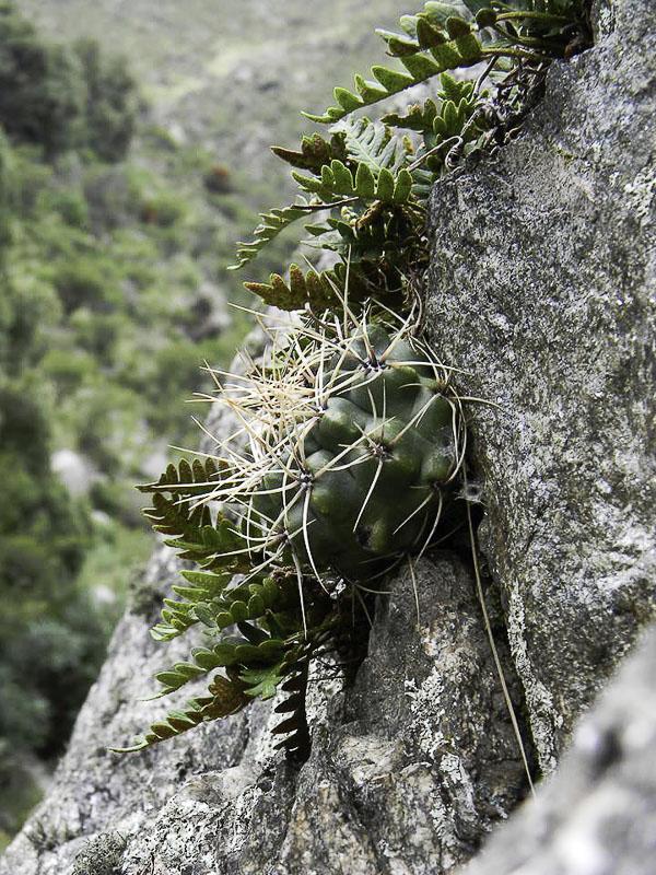 Gymnocalycium monvillei. © Sebastian Santecchia. Cerro Champaqui, Cordoba, Argentine