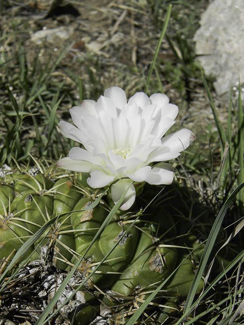Gymnocalycium monvillei. © Sebastian Santecchia. Cuesta Blanca, Cordoba, Argentine