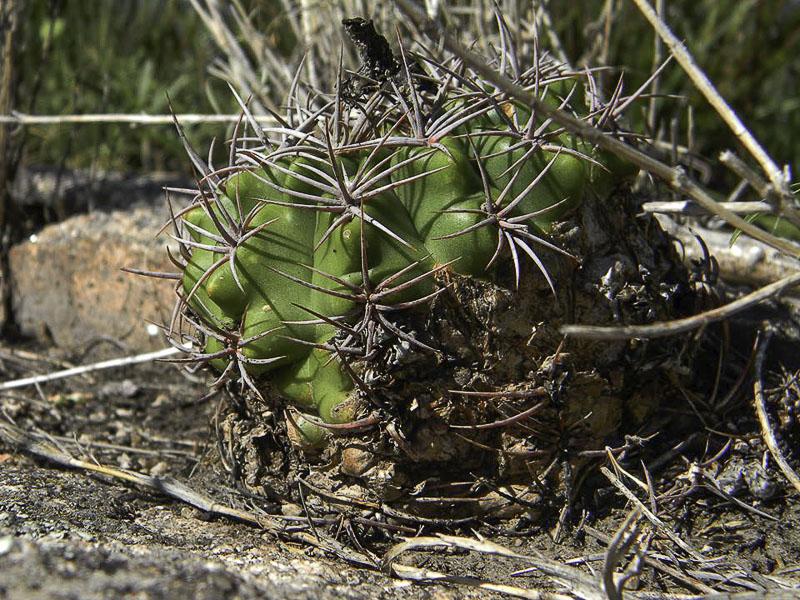 Gymnocalycium mostii. © Sebastian Santecchia. Camino del Cuadrado, Cordoba, Argentine