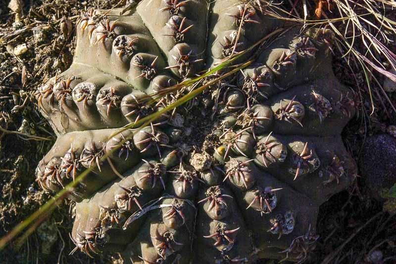 Gymnocalycium quehlianum. © Sebastian Santecchia. La Serranita, Cordoba, Argentine.