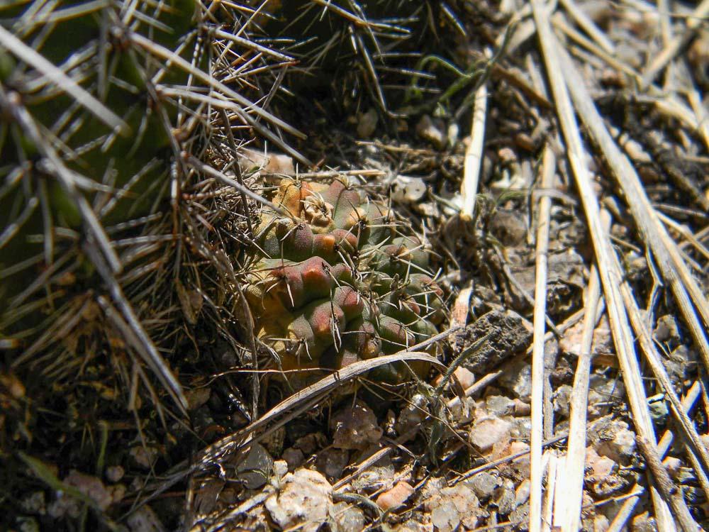 Gymnocalycium quehlianum. © Sebastian Santecchia. Estancia Vieja, Cordoba, Argentine
